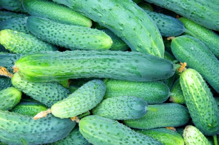 Grains cucumbers with pimples just been plucked from the branches photo