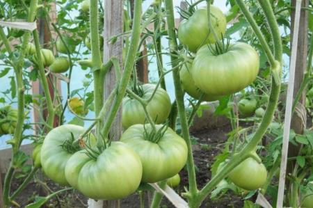 unripe: Unripe tomatoes on branches
