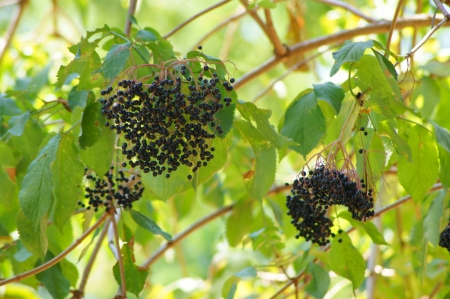 The branches of a bush with clusters of elderberry fruit