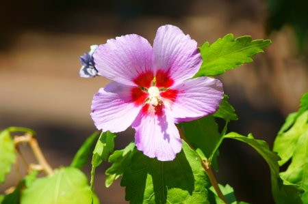Outline purple hibiscus photo