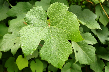 sauternes: Grape leaf surface with water drops