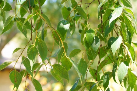 Hanging vines with green leaves and fruits photo