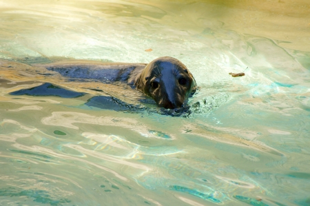 sea bear swimming in the pool of the Roman zoo Stock Photo - 15009541