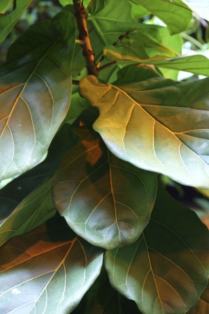 Rubber plant with dark green leaves