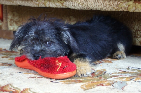 Puppy playing with red sneakers Stock Photo