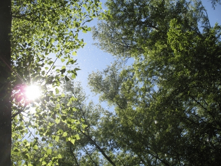 cottonwood  tree: Summer sun shines through the leaves and young cottonwood fluff