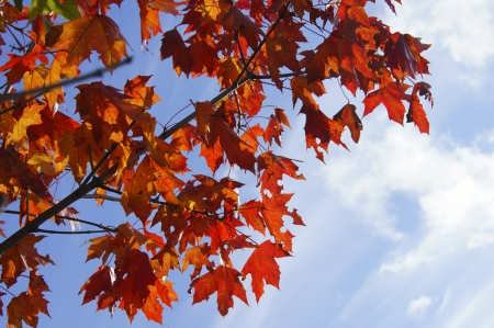wasatch: Red maple leaves in autumn on a background of blue sky Stock Photo