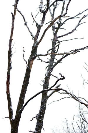 Dead tree in winter forest photo