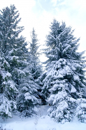 Snow-covered fir on the slope of the Carpathian Mountains         photo