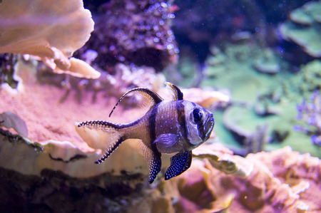 Motley fish with vertical stripes of blue color in an aquarium photo