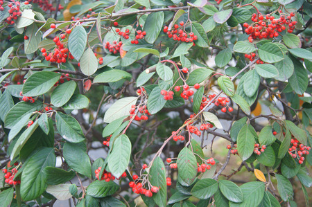 Red fruits on the bush with green leaves