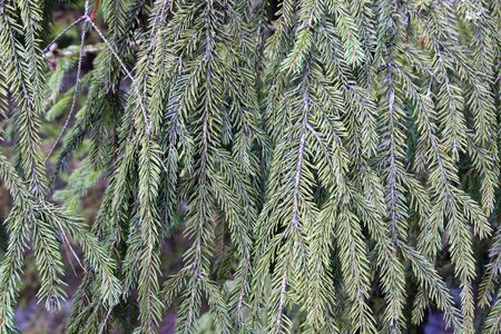 Hanging branches of green spruce as background Stock Photo