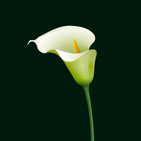 White calla on dark green background. Vector