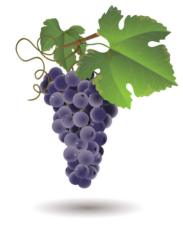grape juice: Bunch of grapes with green leaves isolated on white background. Illustration