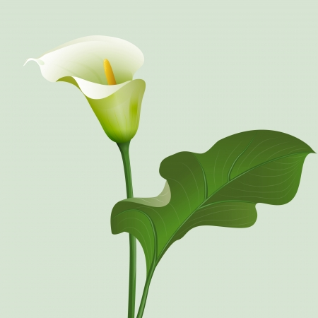 Flower Calla lilies and green leaf. Vector