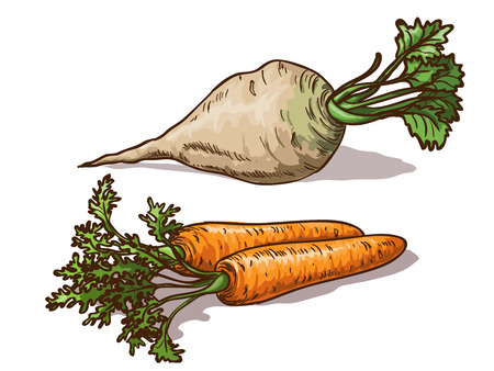 white sugar: Carrots and sugar beet isolated on white background Illustration