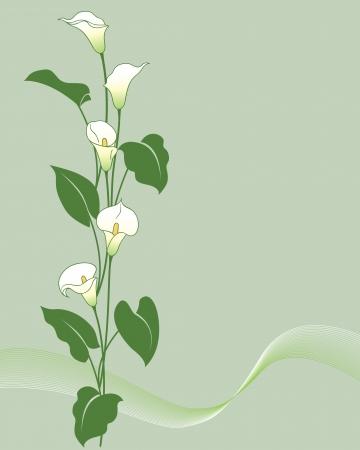 녹색 칼라 백합 큼.