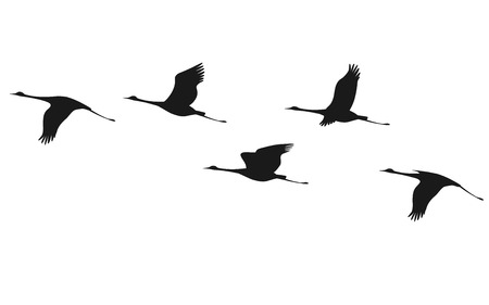 flocks: Silhouette of flying flock of cranes.