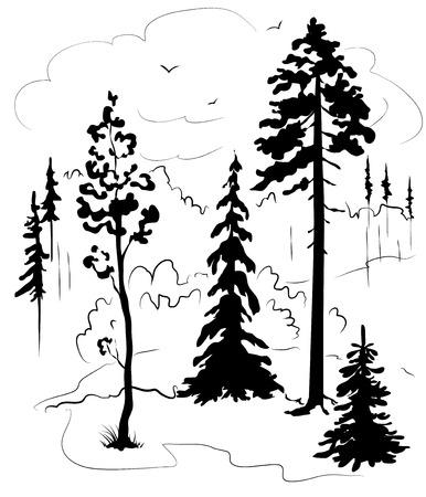 coniferous forest: Coniferous trees silhouettes.