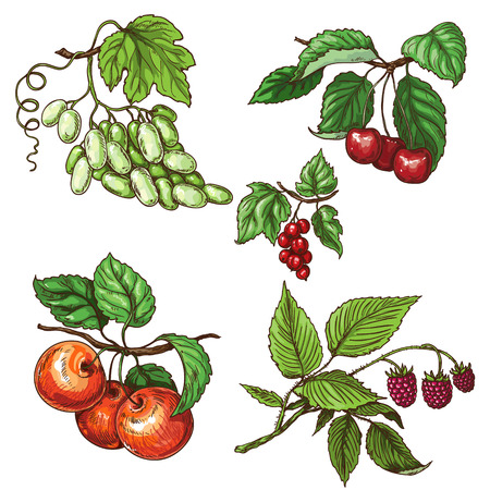 red currant: Fruits of grapes, cherry, apple, currant and raspberry on branches.