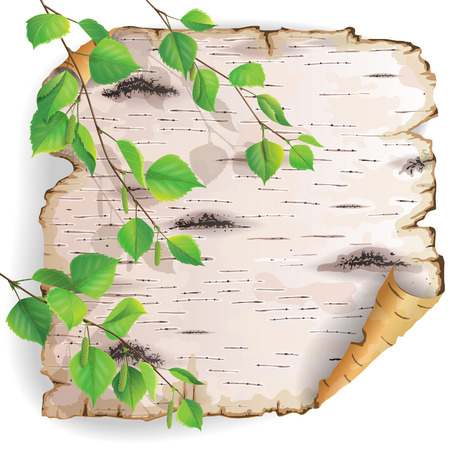 birch bark: Twisted piece of birch bark with green branches.