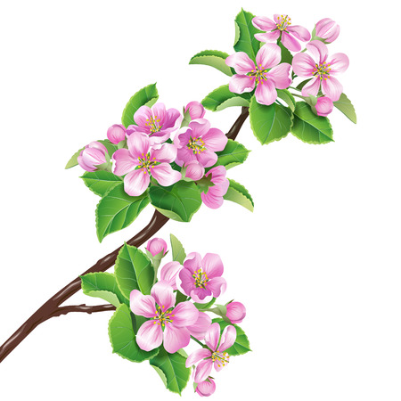 ébredés: Virágzó almafa ág elszigetelt fehér.