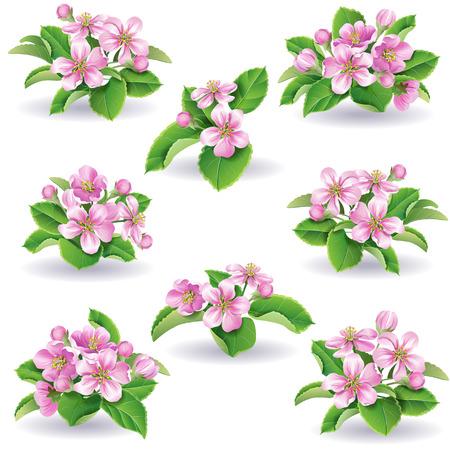 apple blossom: Floral set of apple-tree flowers and leaves. Illustration