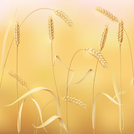 reaping: Background with field of wheat.