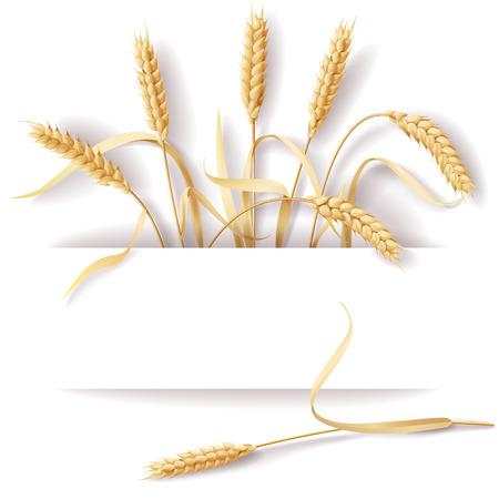 wheat crop: Espigas de trigo con el espacio para el texto.