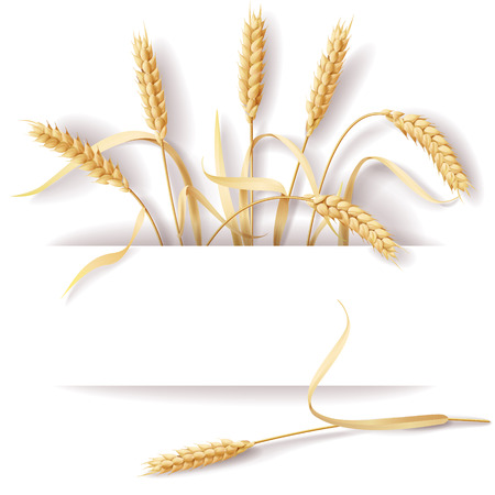 Wheat ears with space for text. Vector