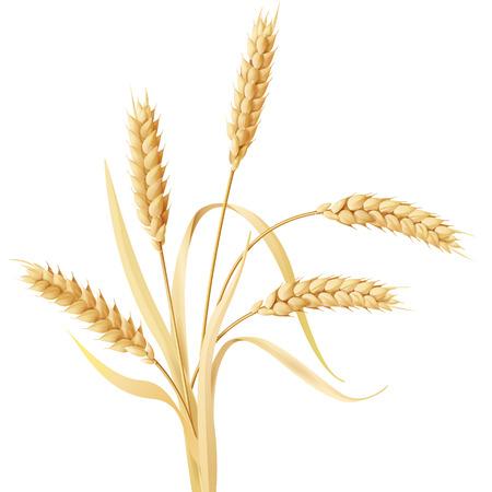 planta de maiz: Espigas de trigo mechón aislados en blanco. Vectores