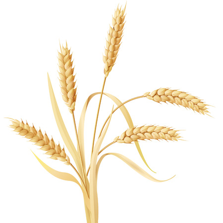 Wheat ears tuft isolated on white.