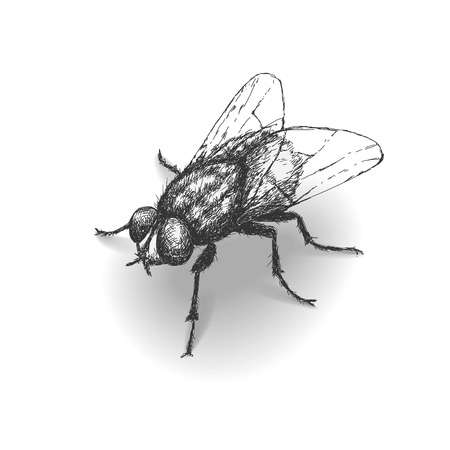 musca: Hand drawn fly isolated on white.