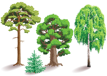 fir: Types of trees. Oak, birch, fir, pine isolated on white.