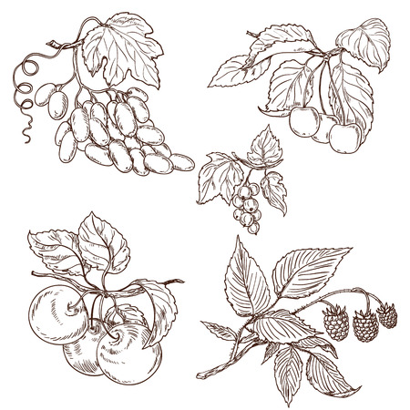 Fruits of grapes, ripe cherry, apple, currant and raspberry on branches. Vector sketch. Illustration