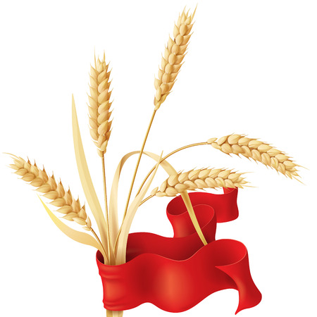 reaping: Wheat ears tuft with red ribbon isolated on white.