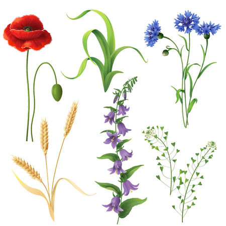 Set of different wildflowers, wheat ears and  grass  isolated on white.