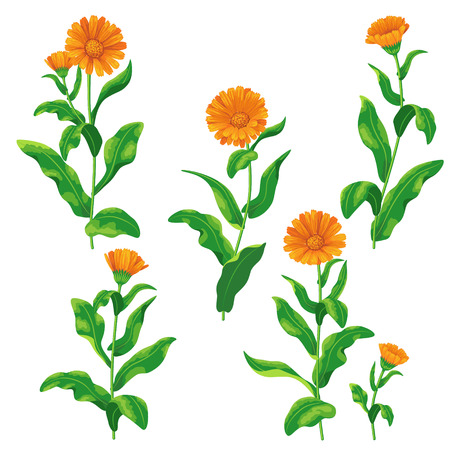 ginger flower plant: Calendula flowers set isolated on white. Illustration
