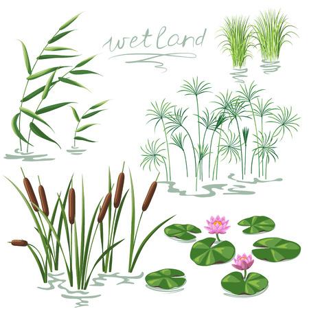 canne: Set di piante delle zone umide. Immagine semplificata di canna, ninfea, canna da zucchero e Carex.