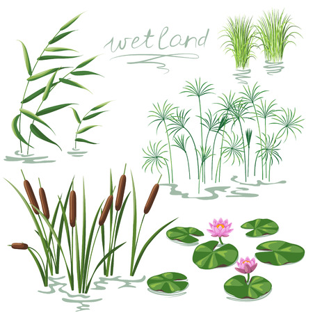 lily flowers collection: Set of wetland plants. Simplified image of  reed, water lily, cane and carex.