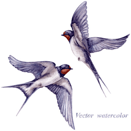 painted background: Watercolor two  flying swallows isolated on white background.