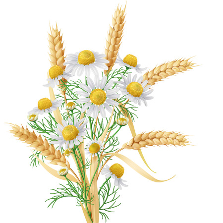 reaping: Bunch of  wild chamomile flowers with wheat ears. Illustration