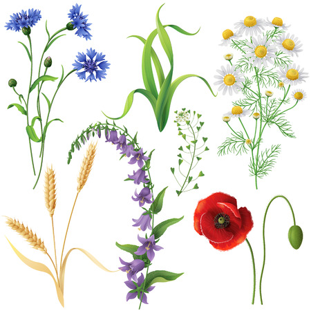 religion  herb: Wildflowers set. Poppy, cornflowers, chamomile, bluebell, blindweed,  wheat ears and  grass  isolated on white.