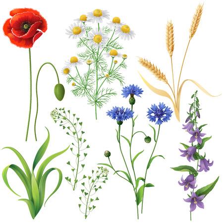 campo de flores: Wildflowers establecen. Amapola, acianos, manzanilla, Bluebell, Blindweed, espigas de trigo y hierba aislados en blanco.