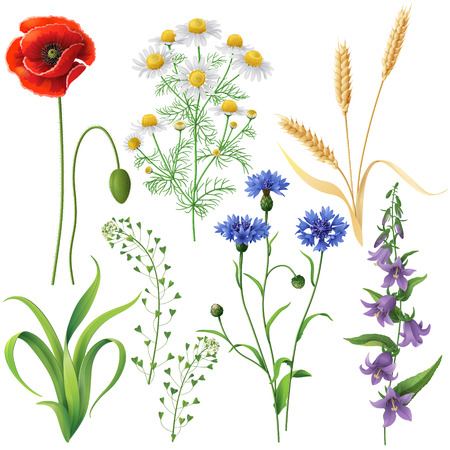 camomile: Wildflowers set. Poppy, cornflowers, chamomile, bluebell, blindweed,  wheat ears and  grass  isolated on white.