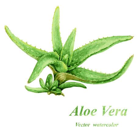 Acuarela verde Aloe Vera con brotes jóvenes aislados en blanco. Foto de archivo - 40918383
