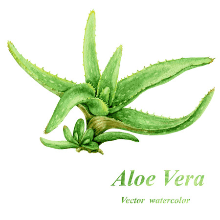 healing plant: Watercolor green Aloe Vera with young shoots isolated on white.