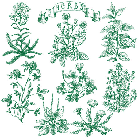 The set of medicinal plants. Hand drawn sketch of clover, yarrow, stinging nettle, ribwort, oxalis, calendula, chamomile, dandelion and banner with inscription -  herbs. Vectores