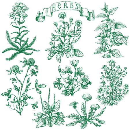 plantas medicinales: El conjunto de las plantas medicinales. Bosquejo drenado mano del trébol, la milenrama, ortiga, llantén, oxalis, caléndula, manzanilla, diente de león y la bandera con la inscripción - hierbas.