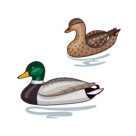 mallard: Imagen simplificada de dos flotantes patos silvestres aisladas en blanco. Vectores